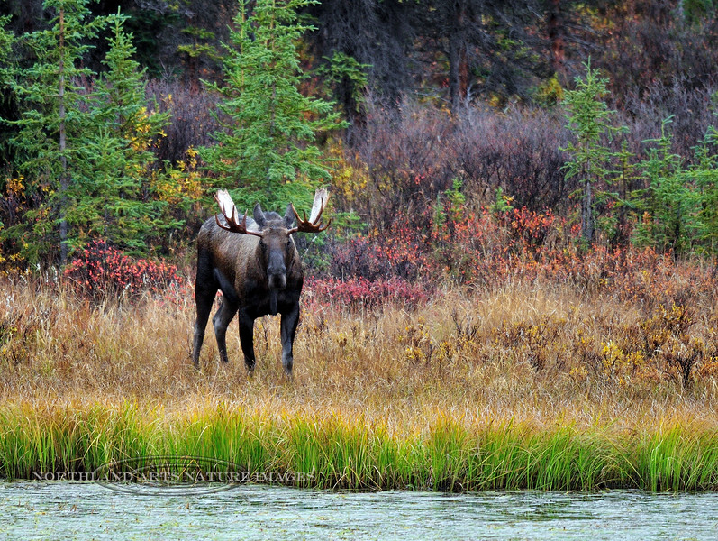 M-4x4-2008.9.12-Moose, Alaskan. Maybe healthy 2 to 3 year old with good genes. I have an image with the same bull 5 years later. Alaska Range, Alaska. #912.103.