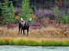Moose, Alaskan. Maybe healthy 2 to 3 year old with good genes. Look in the Large mammal gallery where I have this image with the same bull 5 years later, images #461 & 462. Alaska Range, Alaska. #912.103.