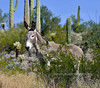 A Wild Burro with it's neck scarred up from fighting. 2021.10.7#5794.2. Lake Pleasant Arizona.