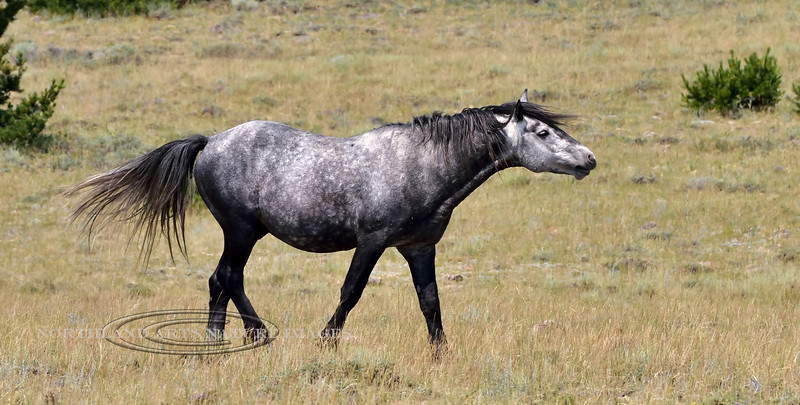 Wild Horse 2018.7.7#2643. A dark dapple grey. Wyoming.
