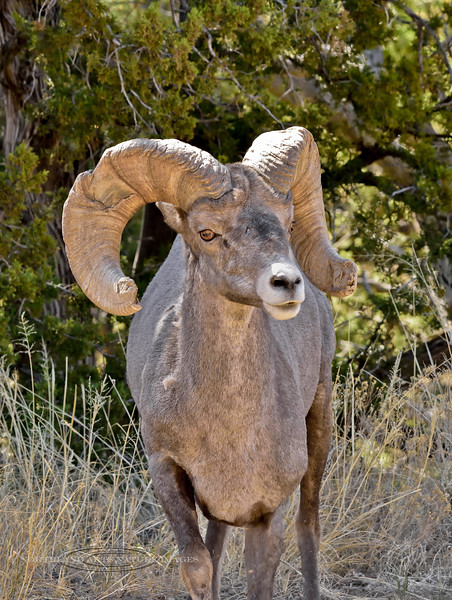 Rocky Mountain Bighorn ram.2018.6.12#528. Arizona.