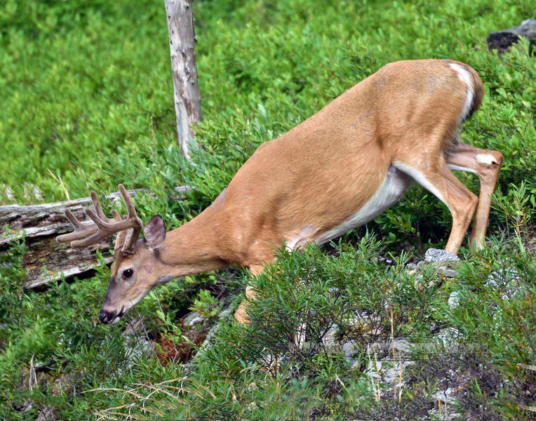 2020.7.25#5488.3. A handsome Whitetail buck in his summer coat sneaking out to browse. A really fine image captured by Guy J. in Penn's Woods.