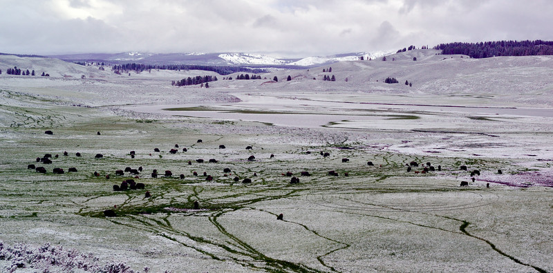 Plains Bison. 2019.6.21#216. Grazing after a rare late June snow. Hayden Valley, Yellowstone Park Wyoming.