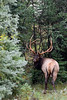 Rocky Mountain Elk 2017.9.9#99.1711. Along the Athabaska River Alberta Canada.