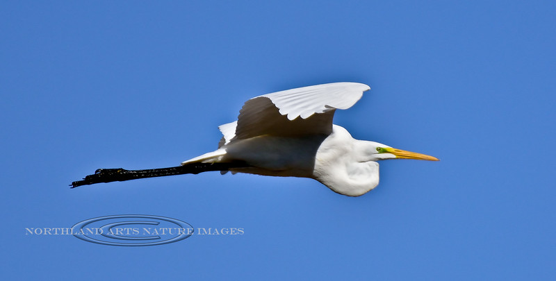 Great Egret 2017.12.7#1112. Gilbert, Maricopa County Arizona.