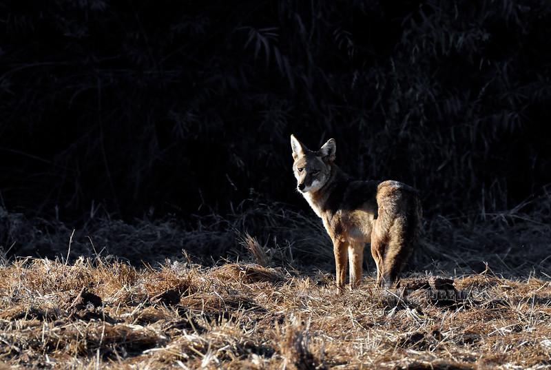 Coyote 2017.12.13#076. Gilbert Water Ranch, Maricopa County, Arizona.