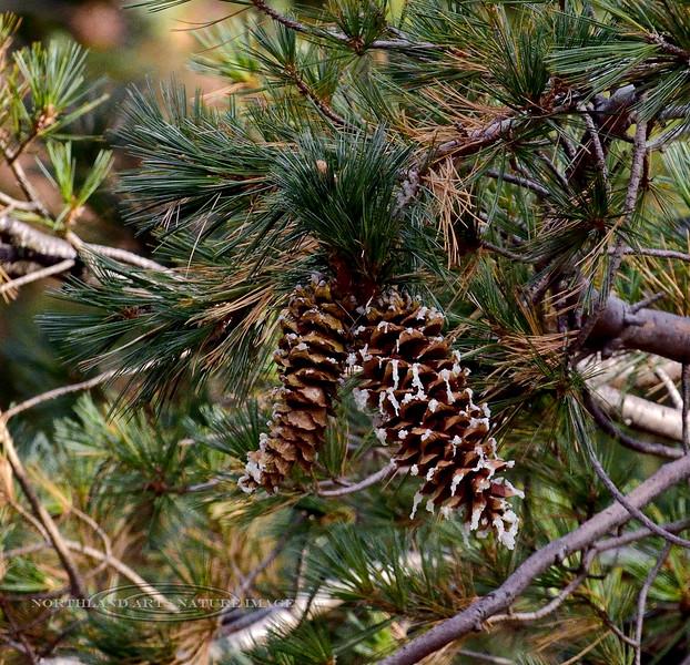 Southwestern White Pine. 2019.11.6#835.3. Pinus strobiformis. A high altitude conifer. Mount Lemmon Arizona.