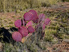 Santa Rita Prickly Pear 2018.3.21#017. Near Hereford, Arizona. A species that naturally occurs more purple red.