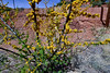 The Sweet Acacia 2018.4.10#650. Acacia smallii, is a species used for landscaping. This tree was probably planted by the Mining Company to brighten the landscape. Near the Lavender Pit of the old Bisbee mine, Arizona.