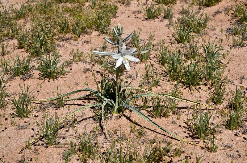 The Ajo Lilly 2020.3.5#7619.2. Hesperocallis undulata. Near the Mohawk Dunes south of Tacna Arizona.