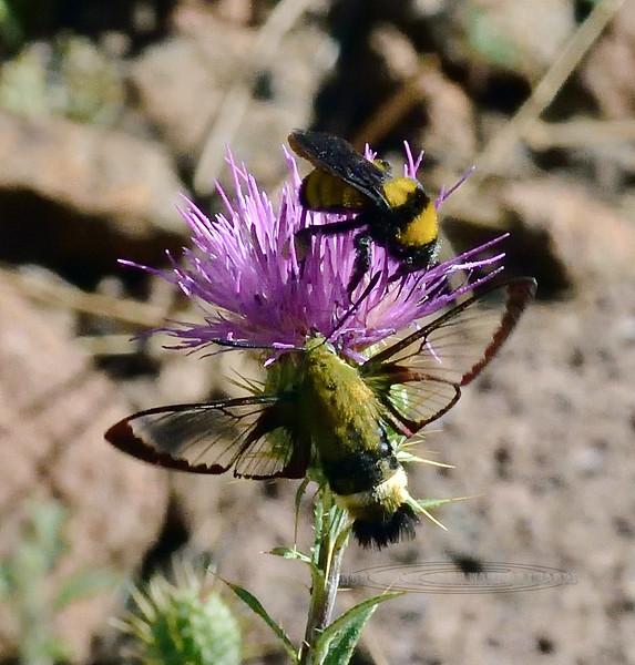 A Hummingbird Clearwing moth 2020.8.7#3092.3. Hemaris diffinis nectering on a Wheeler's Thistle. Mingus Mountain, Black Hills Arizona.
