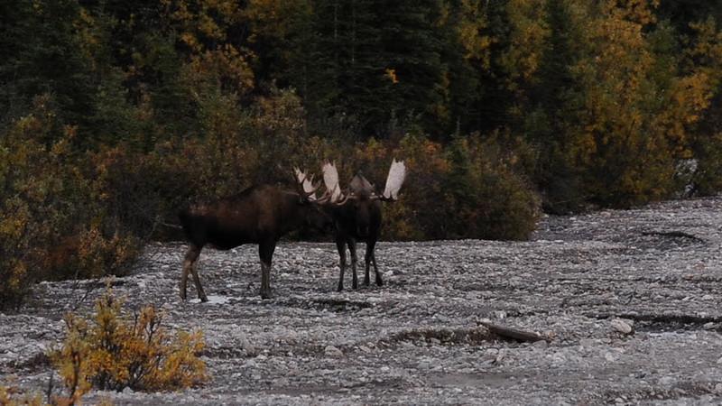 Two bull moose posturing  2010.9.3#003. Denali Park Alaska.