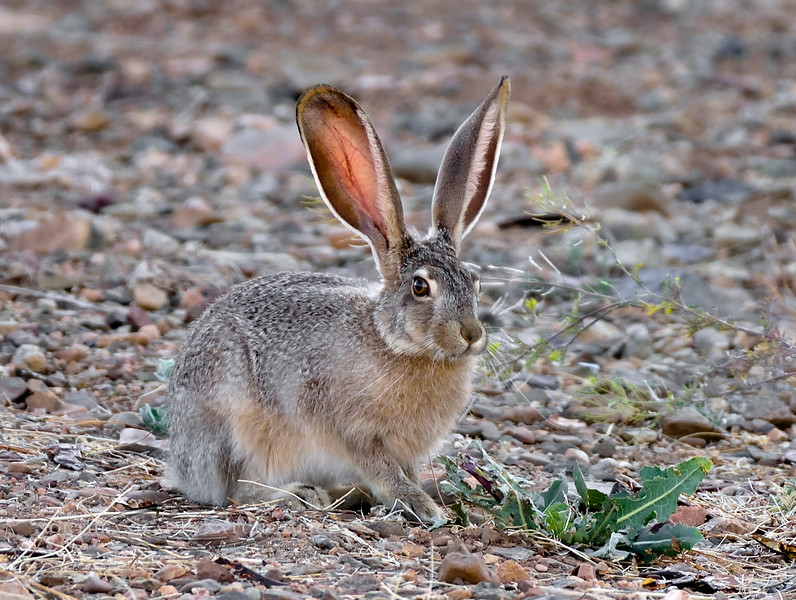 Black-tailed Jackrabbit 2018.6.1#045. Prescott Valley Arizona.