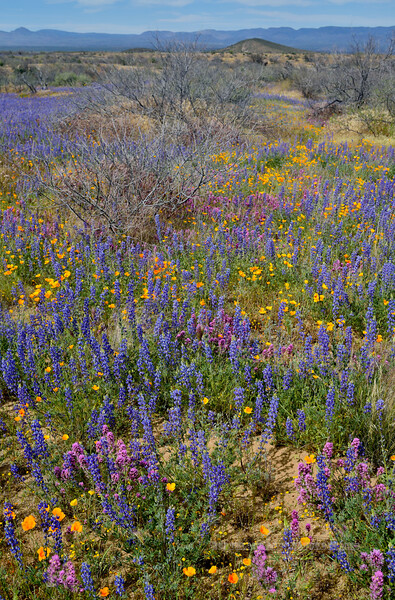 AZ-Desertscape showing the big three, Lupine, Poppy and Purple Owl's Clover. 2019.4.9#108. San Carlos Apache Reservation, Gila County Arizona.