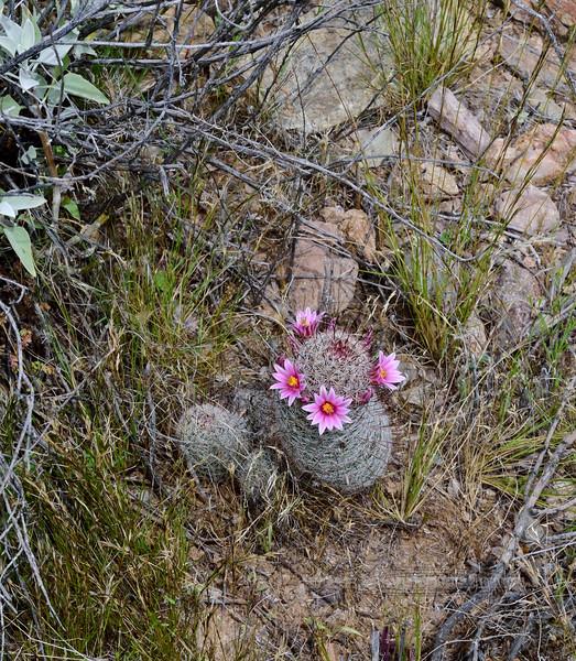2020.3.31#6907.3X. Mammilaria Grahamii, a Pincushion Cactus. Lake Pleasant Arizona.