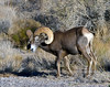 2021.9.29#4698.3. A really exceptional image of an awesome Desert Bighorn Ram. Photo by Tina J.