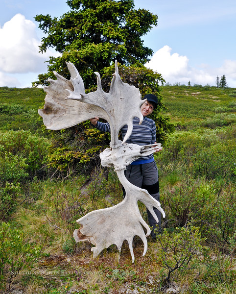 2009.6.30#065b4. My wife Mary Lou holding up the antlers of the legendary 80 inch bull moose that roamed the Savage River Country in Denali Park for many years. One of the greatest moose that ever lived in Alaska.