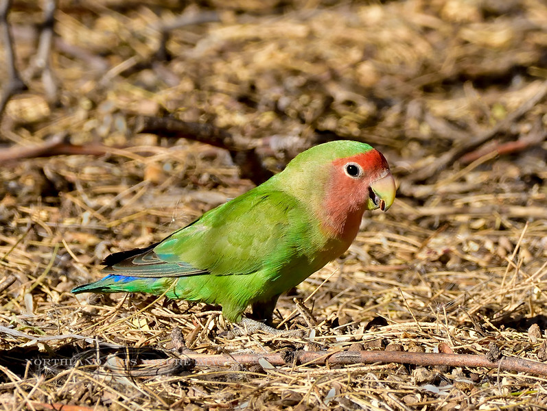 Rosey-faced Lovebird. Feeding under screwbean mesquite. Maricopa County, Arizona. #127.224.