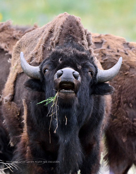 2015.5.16#217.3. A young Plains Bison bull protesting. Bison Range near Charlo Montana.