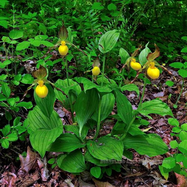 "The Yellow Moccasin Flower or Lady Slipper 2010.5.6#027. Cypripedium calceolus. ""Penns Woods"" Bowman's Hill, Bucks County Pennsylvania."