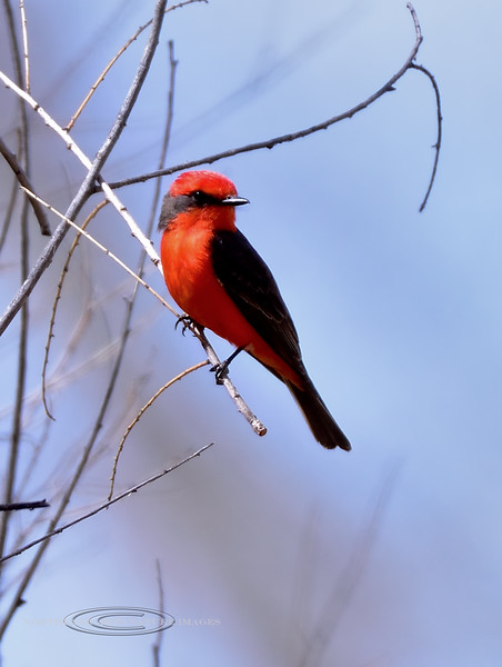 Vermillion Flycatcher 2018.3.21#1118. San Pedro River, Arizona.