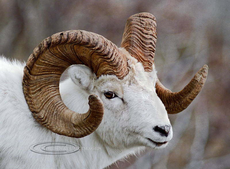 """A great ram from the """"Old Days"""" 2000.3.30#12c4NI. Turnagain Arm, Alaska. Scanned and salvaged from a 4x6 photo."""