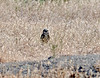 Burrowing Owl 2021.6.16#3918.3a. Her burrow is in the fore ground in the dirt hump. Route 232 south central Washington.