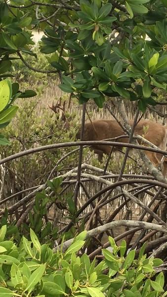 2020.1.27#5365. A short video of a Key Deer buck. Big Pine Key, Florida. Shot by Guy J.