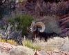 2019.10.12#262.3. A real good Desert Bighorn Ram.