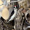 Woodpecker, Hairy. Yavapai County, Arizona. #1121.093.