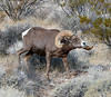 A Desert Bighorn ram 2021.9.29#5788.3. The real estrus and rutting period is just about over but this Desert ram is still interested in the ewes and is showing off and following them quite intently.