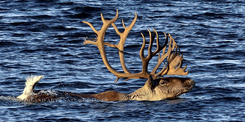 A really handsome bull caribou on the fall migration. Alaska. #1015.177.  See Large mammal gallery for more images.