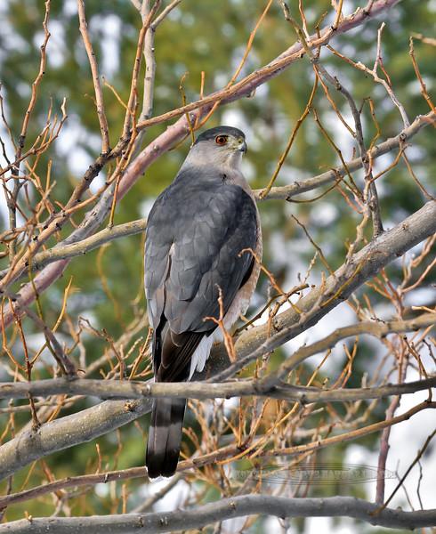 An adult male Cooper's Hawk 2021.1.28#5531.3. Prescott Valley, Arizona.