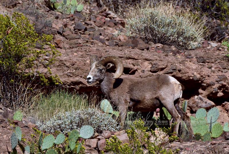 Sheep, Rocky Mtn Bighorn. Arizona. #412.3277.