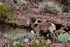 Sheep, Rocky Mtn Bighorn. Arizona. #412.3277.
