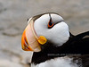 Horned Puffin 2016.8.4#184. Sea Life Center, Seward Alaska.
