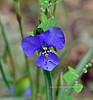 Pinewoods Spiderwort 2021.8.20#7302.3. Tradescantia pinetorum. These are not rare but it took me four years to find the first ones since we moved here. I think the monsoons this year were most helpful. Mingus Mountain, Yavapai County Arizona.