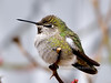 Hummingbird, Costa's, female. Yavapai County, Arizona. #212.041.