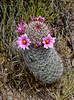 2020.3.31#6769.3xe. A Graham's Nipple Cactus, Mammilaria Grahamii. Near Lake Pleasant Arizona.