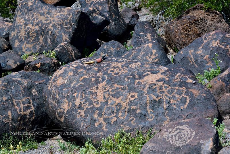 Chuckawalla 2019.3.6#430. Male basking on ancient petroglyphs. Maricopa County Arizona.