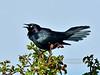 BLACKBIRDS, ORIOLES-Blackbird, Brewer's 2014.5.14#535. Camas Prairie, Idaho.