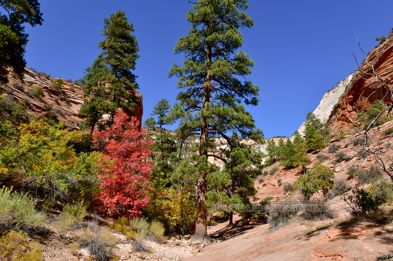 2019.10.14#1560.2. A Bigtooth Maple amongst some oaks and Ponderosa's. Zion Park Utah.