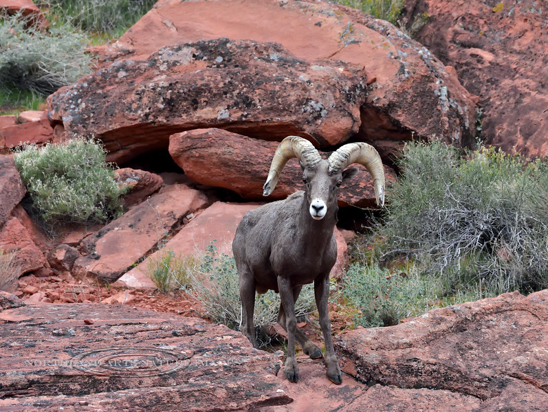 Desert Bighorn ram 2018.12.6#205. Lake Mead Nevada.