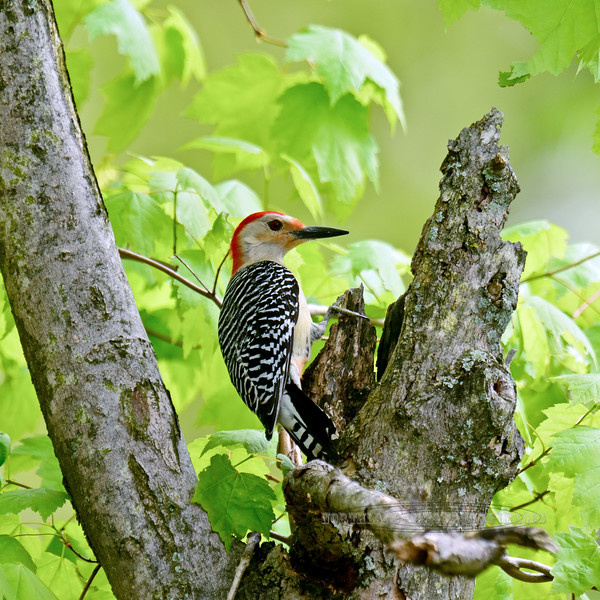 Red-bellied Woodpecker 2016.5.11#993.5. Quarry Road, Bucks County Pennsylvania.