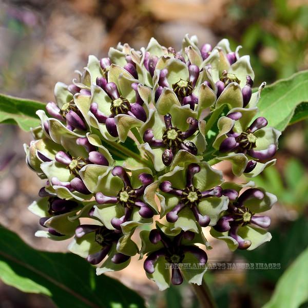 The Spider Milkweed 2018.5.5#1146. Asclepias asperula, also called Antelope Horns. Chiricahua Mountains Arizona.