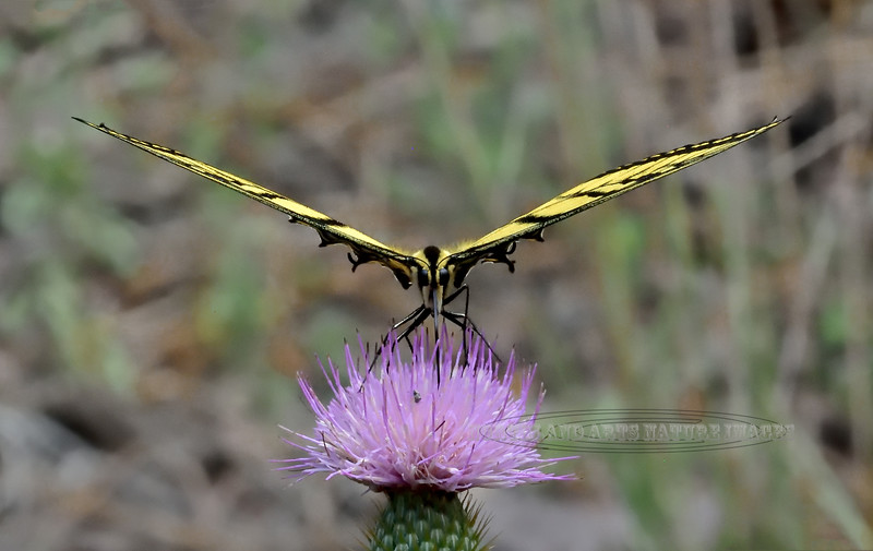 A Two-tailed Swallowtail 2020.7.25#1879.4. The State Butterfly of Arizona, looking like a drone or a stealth fighter guarding a Wheeler's Thistle. Mingus Mountain Arizona.