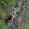 Owl, Great Gray female. Interior, Alaska. #68.964. 1x1 ratio format. See Alaska bird gallery for more images.