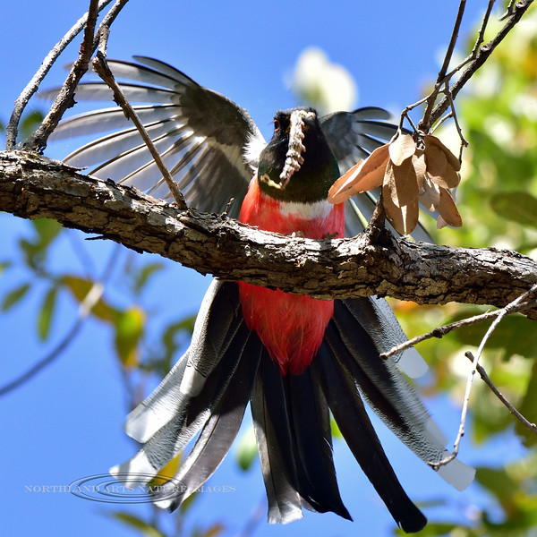 Elegant Trogon 2019.4.30#917. A handsome male with his favorite prey, a big fat Caterpiller. Santa Rita Mountains, Arizona. Photo by Guy J.