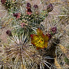 The Silver Cholla 2020.3.5#7612.3. Cylindropuntia eschinocarpa. The only one I found in the Mohawk Sand Dunes when I was shooting Ajo Lilly's. I was told it was the first in a few years the Lilly's appeared as good as they were. This Cholla had four flowers but most of it was brown and dead. This is obviously a harsh environment even for these plants that have evolved and adapted to living here for a long time. Mohawk Sand Dunes, south of Tacna Arizona.