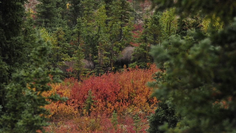 A short video of two bull moose sparring. 2010.9.4#010.The strangest sparring event I ever saw. These two bulls wouldn't engage each other in the open, but got quite aggressive with a big willow tree between them. Denali Park Alaska.